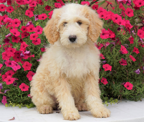 Mini Bernedoodle For Sale Sugarcreek, OH Female- Gracie