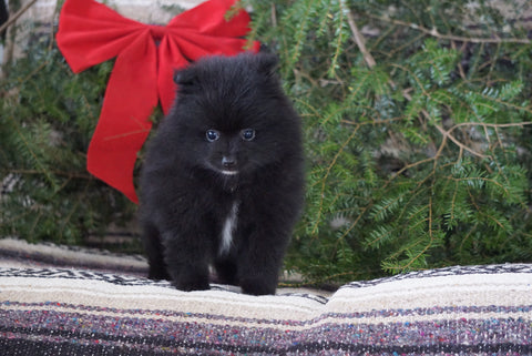 ACA Registered Pomeranian For Sale Millersburg, OH Male- Bear