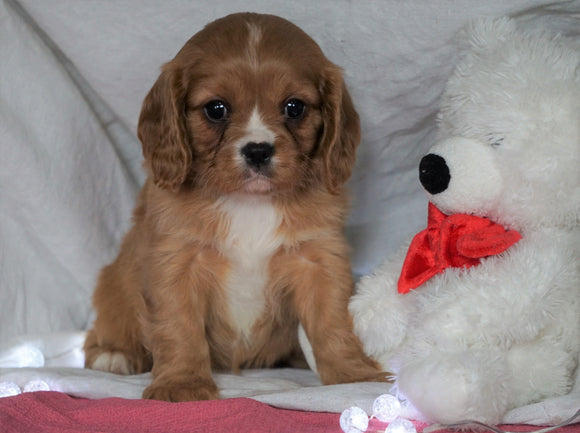 AKC Registered Cavalier King Charles Spaniel For Sale Holmesville, OH Female- Abby