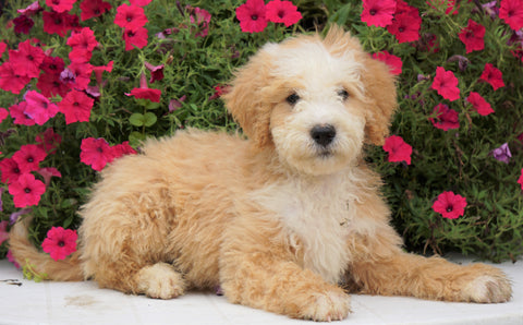 Mini Bernedoodle For Sale Sugarcreek, OH Male- Cinnamon