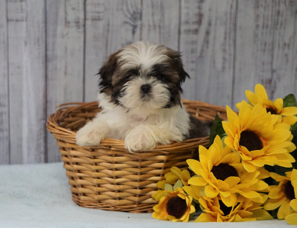 Shih Tzu For Sale Warsaw, OH Male - Sparky
