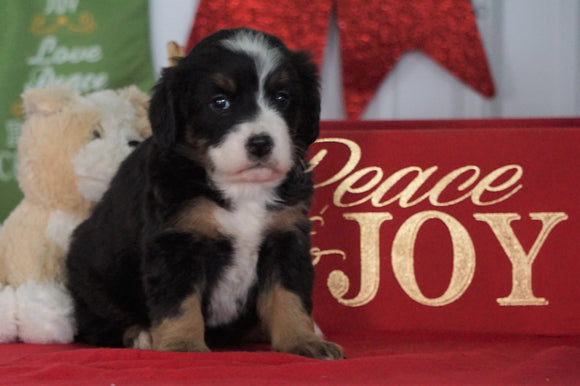 Mini Bernedoodle For Sale Loudenville OH, Female - Zoey
