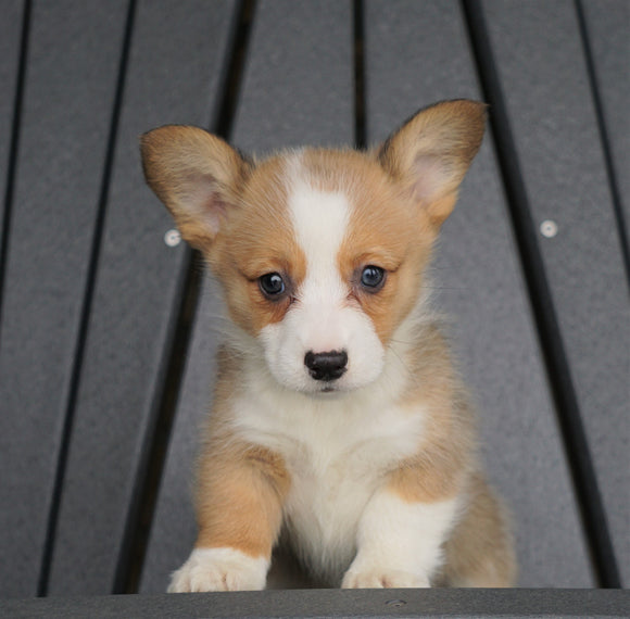 AKC Registered Pembroke Welsh Corgi For Sale Millersburg, OH Female - Skye