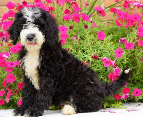 Mini Bernedoodle For Sale Sugarcreek, OH Female- Molly