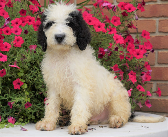 Mini Bernedoodle For Sale Sugarcreek, OH Male- Arnold