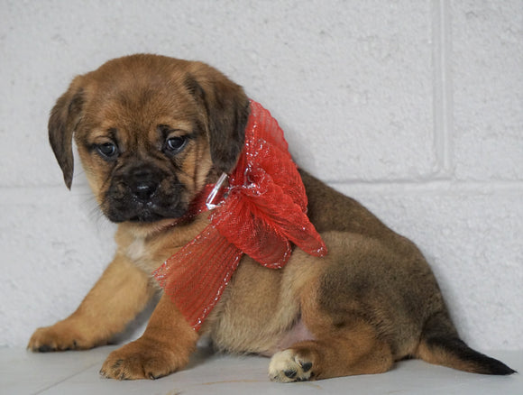 Puggle For Sale Sugarcreek OH, Female - Joy