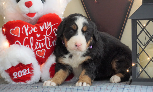 AKC Registered Bernese Mountain Dog For Sale Millersburg, OH Female- Lilly