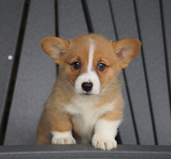 AKC Registered Pembroke Welsh Corgi For Sale Millersburg, OH Female - Lily