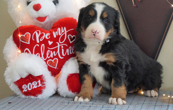 AKC Registered Bernese Mountain Dog For Sale Millersburg, OH Female- Bella