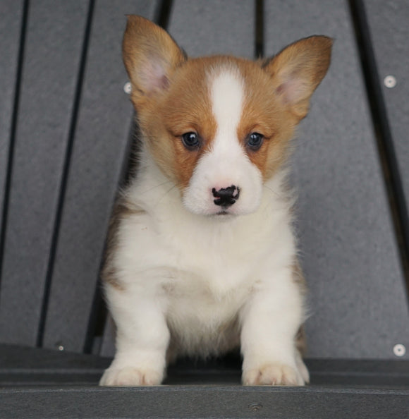 AKC Registered Pembroke Welsh Corgi For Sale Millersburg, OH Female - Sasha