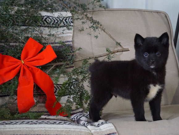 Pomeranian Mix For Sale Millersburg, OH Male-Travis