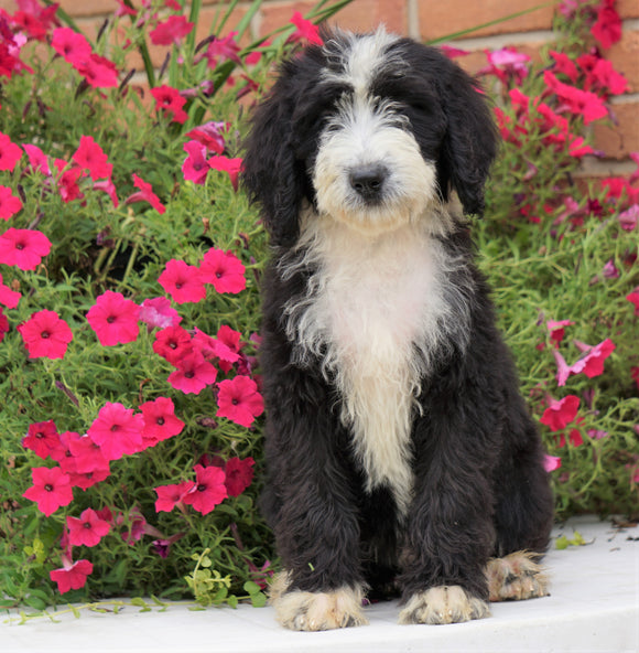 Mini Bernedoodle For Sale Sugarcreek, OH Female- Patsy