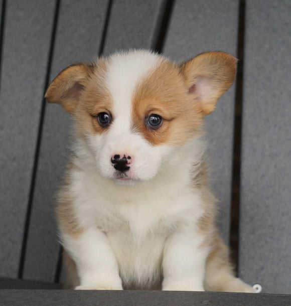 AKC Registered Pembroke Welsh Corgi For Sale Millersburg, OH Male - Cody