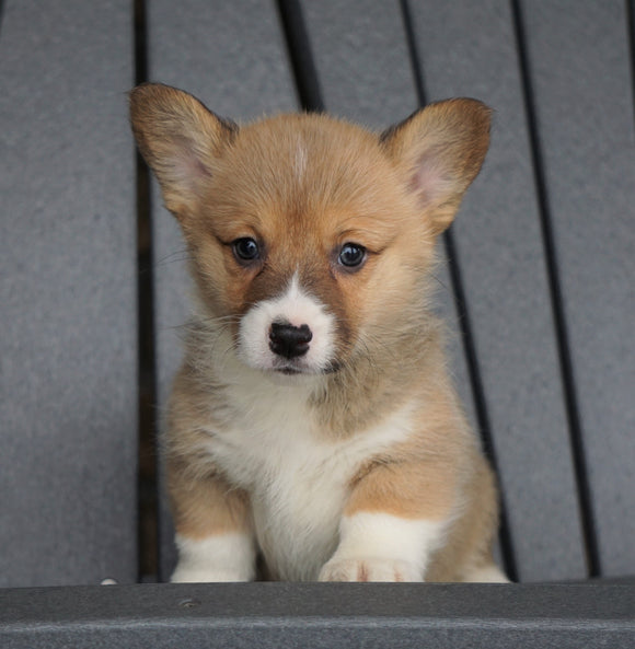 AKC Registered Pembroke Welsh Corgi For Sale Millersburg, OH Female - Cheyenne