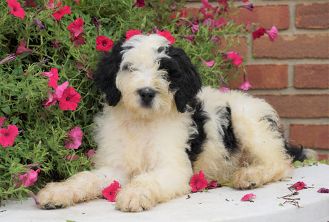 Mini Bernedoodle For Sale Sugarcreek, OH Male- Patches