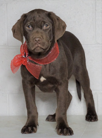Labrador Retriever Puppy For Sale Sugarcreek OH Male - Rudolph