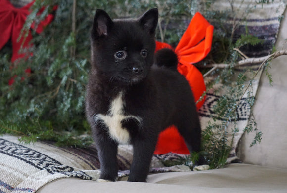 Pomeranian Mix For Sale Millersburg, OH Female- Cindy