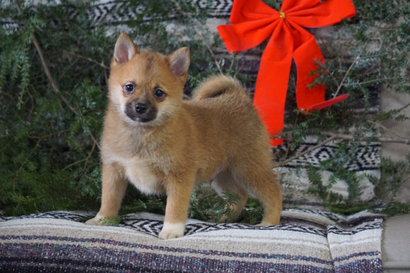 Pomeranian Mix For Sale Millersburg, OH Male- Toby