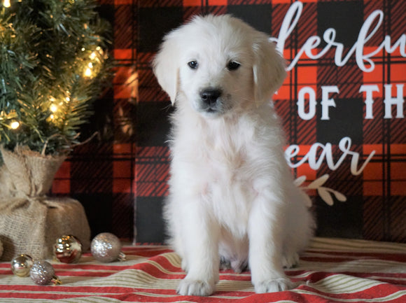 AKC Registered English Cream Golden Retriever For Sale Fredericksburg OH, Male - River