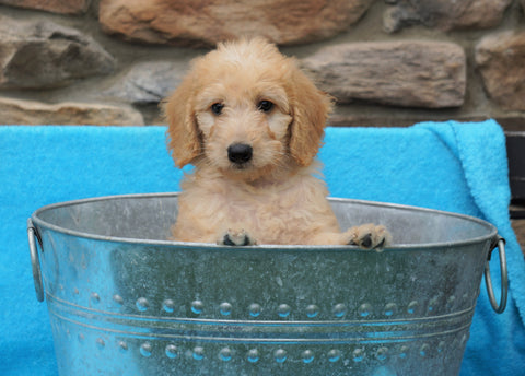 F2 Mini Goldendoodle For Sale Sugarcreek, OH Female- Lily