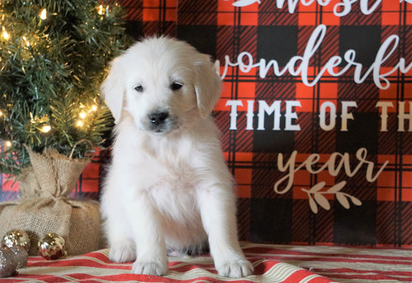 AKC Registered English Cream Golden Retriever For Sale Fredericksburg OH, Male - Bruno