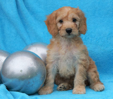 F2 Mini Goldendoodle For Sale Sugarcreek, OH Male- Benji