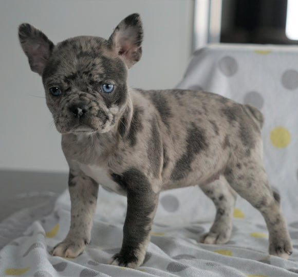 Frenchton Puppy For Sale Wooster, OH Female- Whitney