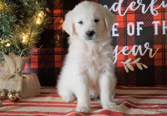 AKC Registered English Cream Golden Retriever For Sale Fredericksburg OH, Male - Otis