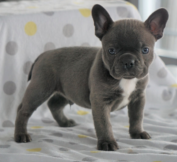 Frenchton Puppy For Sale Wooster, OH Male- Jaxson