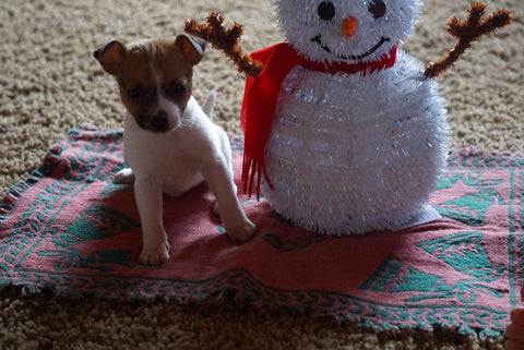 Toy Fox Terrier/Jack Russell Mix For Sale Apple Creek, OH Male- Scrapp