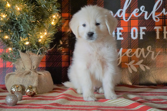 AKC Registered English Cream Golden Retriever For Sale Fredericksburg OH, Male - Spencer