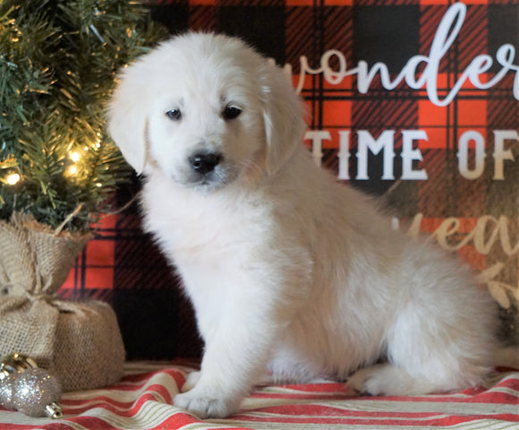 AKC Registered English Cream Golden Retriever For Sale Fredericksburg OH, Male - Lance