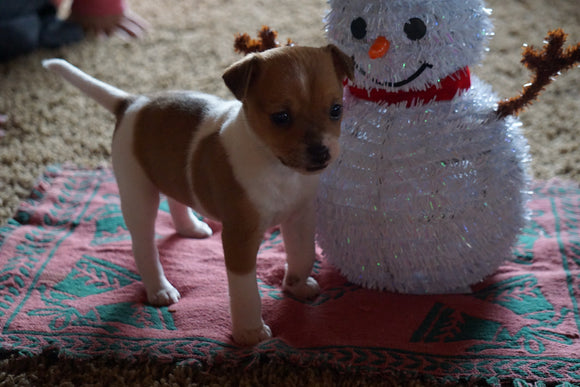 Toy Fox Terrier/ Jack Russell For Sale Apple Creek, OH Female- Dotty