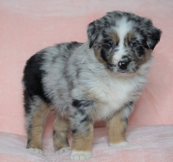 Australian Shepherd For Sale Baltic, OH Male - Dash -CHECK OUT OUR VIDEO-