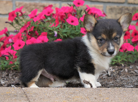 AKC Registered Pembroke Welsh Corgi For Sale Millersburg, OH Male- Earle