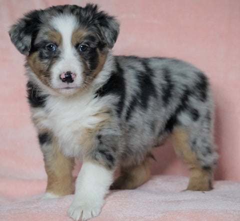 Australian Shepherd For Sale Baltic, OH Female - Holly -CHECK OUT OUR VIDEO-