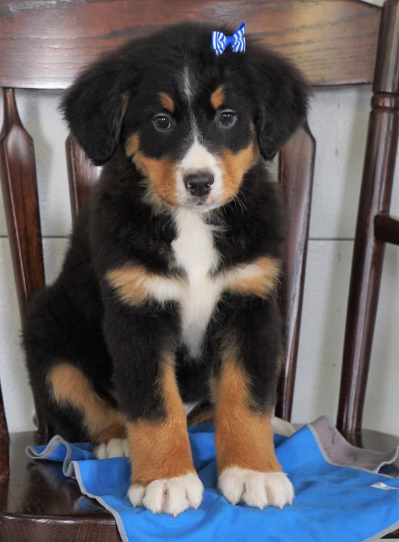 AKC Registered Bernese Mountain Dog For Sale Loudenville, OH Male- Cliff