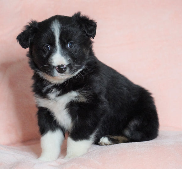Australian Shepherd For Sale Baltic, OH Female - Joy -CHECK OUT OUR VIDEO-