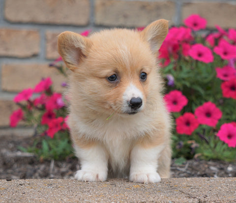 AKC Registered Pembroke Welsh Corgi For Sale Millersburg, OH Male- PeeWee