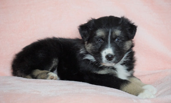 Australian Shepherd For Sale Baltic, OH Male - Dodger -CHECK OUT OUR VIDEO-