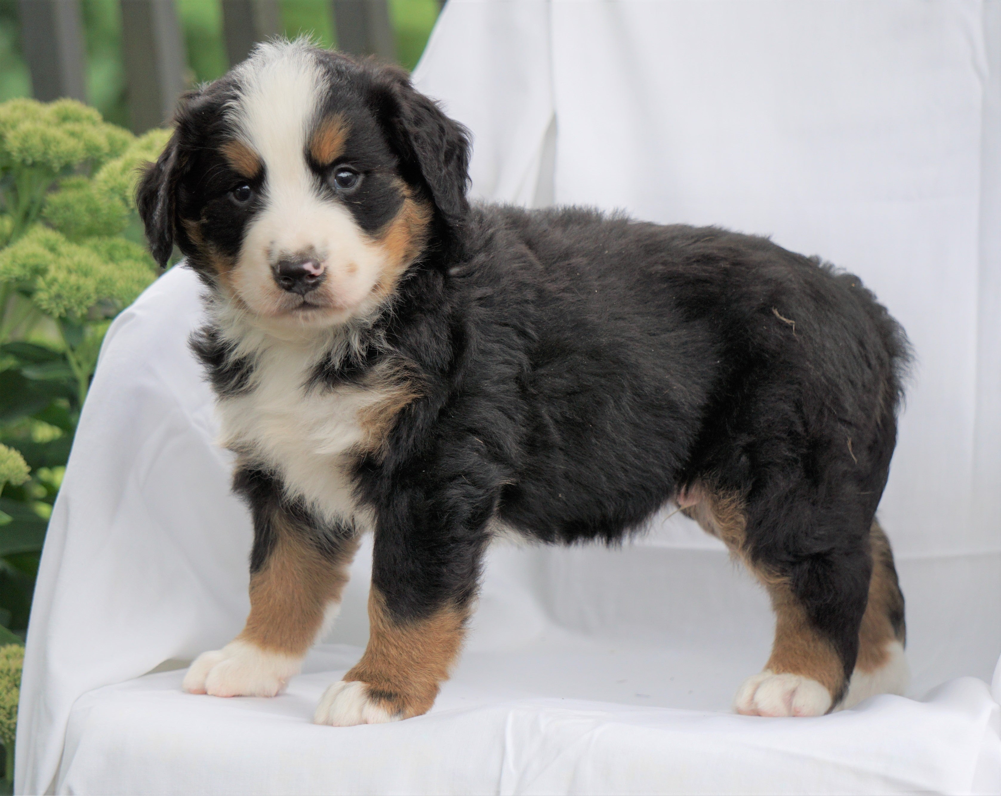 Akc Registered Bernese Mountain Dog For Sale Millersburg Oh