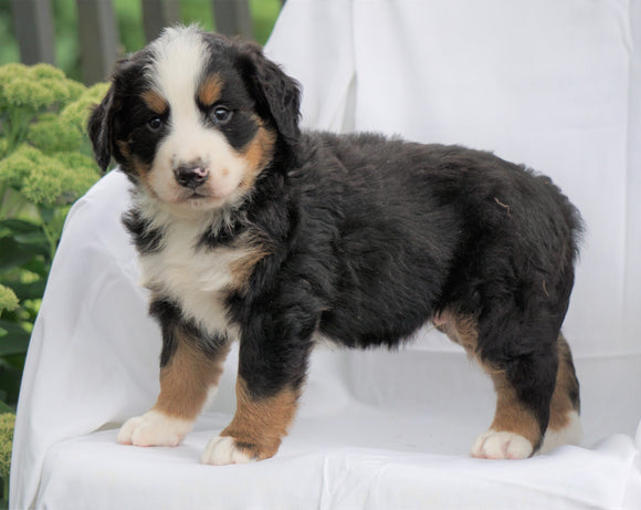 AKC Registered Bernese Mountain Dog For Sale Millersburg, OH Male- Hemmi