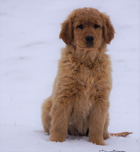 AKC Registered Golden Retriever For Sale Apple Creek, OH Female- Dixie