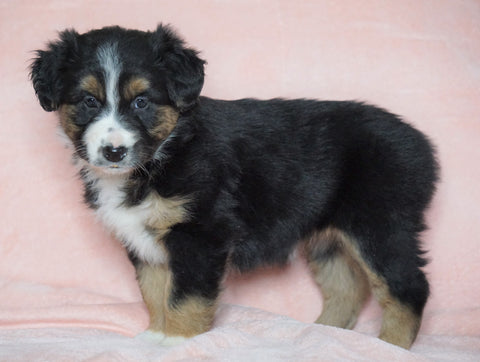 Australian Shepherd For Sale Baltic, OH Female - Skye -CHECK OUT OUR VIDEO-