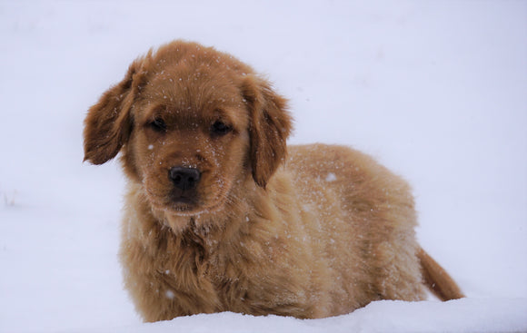 AKC Registered Golden Retriever For Sale Apple Creek, OH Male- Roscoe