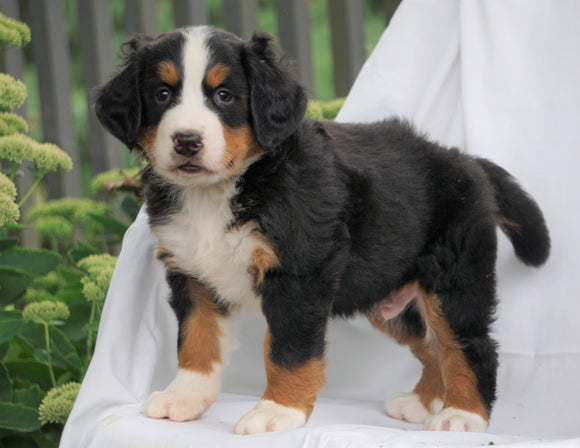 AKC Registered Bernese Mountain Dog For Sale Millersburg, OH Male- Bernie