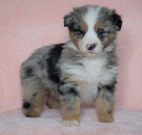 Australian Shepherd For Sale Baltic, OH Female - Princess -CHECK OUT OUR VIDEO-