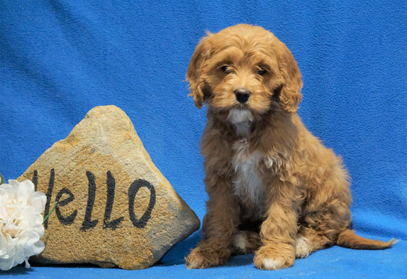 F1B Mini Goldendoodle For Sale Holmesville, OH Female - Snuggles