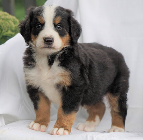 AKC Registered Bernese Mountain Dog For Sale Millersburg, OH Male- Russel