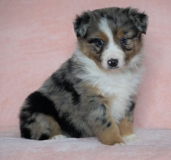 Australian Shepherd For Sale Baltic, OH Male - Bolt -CHECK OUT OUR VIDEO-
